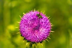 Symbiosförhållandet av en blomma och ett bi Arkivfoton