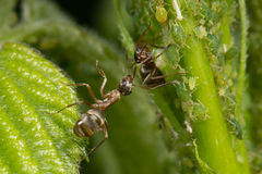 The symbiosis of ants and aphids. Ant tending his flock on green leaves Stock Image