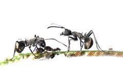 Symbiosis da formiga e do afídio Imagens de Stock Royalty Free