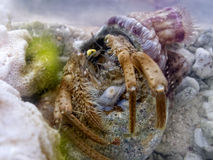 Symbiosis :  Hermit crab and sea anemone Royalty Free Stock Images