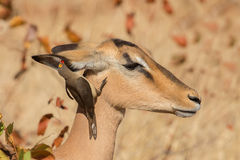 Symbiosis, Impala with oxpecker Royalty Free Stock Image