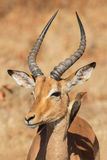 Symbiosis, Impala with oxpecker Royalty Free Stock Photos