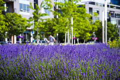 Symbiosis urban city modern life and natural lavender flowers me Stock Image