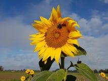 Symbiotiskt förhållande: Solros med bin mot himmel royaltyfri bild