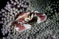 Symbiotyczny porcelana krab, anemon i zdjęcia stock