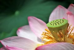 Symbol of Buddhism and religion. Closeup of lotus flower during the summer season. The lotus flower is an important symbol of Buddhism, and due to the conditions Royalty Free Stock Images