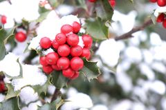 Symbol of Christmas in Europe. Closeup of holly beautiful red berries and sharp leaves on a tree in autumn weather. Symbol of Christmas in Europe,closeup of royalty free stock image