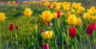 Symbol of happiness, love, admiration. Multicolored tulips in the park, on the lawn. Symbol of love and theft. According to Feng Shui, tulips symbolize the royalty free stock images
