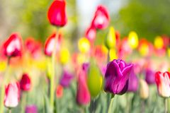 Symbol of happiness, love, admiration. Multicolored tulips in the park, on the lawn. Symbol of love and theft. According to Feng Shui, tulips symbolize the royalty free stock photo