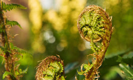 The Symbol of Life. Fern Spirals Unfolding in the forest Stock Photo