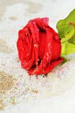 Symbol of love. Red rose in the foam of the waves, suggesting romanticism and desire for love stock photography