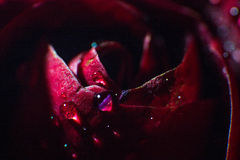 Symbol of love and romantic feelings red rose petals macro picture with water drops Stock Images