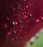 Symbol of love and romantic feelings red rose petals macro picture with water drops Stock Photography