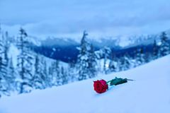 Red rose in snow. In a memory of the loved one. Symbol of love, sadness and grief.  Mountains after a heavy  snowfall. Mount Hood. Portland. Oregon. United Royalty Free Stock Photos