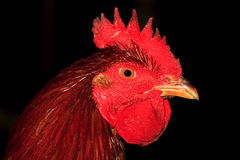 Symbol of new year Fire rooster Royalty Free Stock Photo