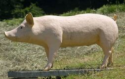 Free Symbol Of A Pig In Meadow Stock Photography - 187582652