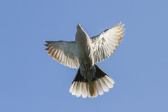 Symbol of peace in flight Royalty Free Stock Images