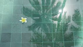 Symbol of tropical rest-flowers frangipani plumeria floating in the water pool with reflection of a palm tree and the. Symbol of tropical rest-flowers frangipani stock footage
