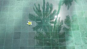 Symbol of tropical rest-flowers frangipani plumeria floating in the water pool with reflection of a palm tree and the. Symbol of tropical rest-flowers frangipani stock video footage