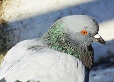 The Symbol of Trust, close-up. Dove, the symbol of good news and trust. Close-up Stock Image