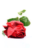 Symbol von love'red rose Lizenzfreies Stockfoto