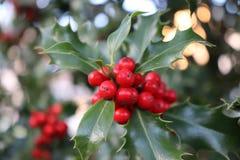 Symbol von Weihnachten in Europa , verlässt Nahaufnahme von schönen roten Beeren der Stechpalme und Scharfes auf einem Baum im ka Stockfotos