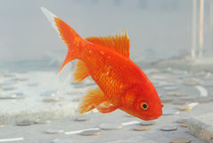 Symbol of wealth goldfish swimming in the aquarium with money. Symbol of wealth goldfish swimming in the aquarium among coins Stock Photo