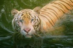 Symbole blanc de tigre de succès Images stock