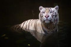 Symbole blanc de tigre de succès Photos stock