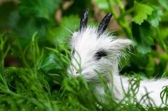 Symbole de 15 dans l'horoscope chinois, chèvre Photos stock