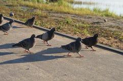 Symbole de pigeon de paix marchant sur la même ligne Photo libre de droits