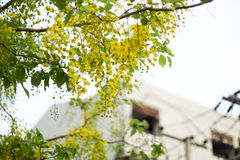 symbole national Thaïlande de douche de nature de la vie verte d'or de fleur de chiangmai de tache floue de fond avec le jaune Image libre de droits