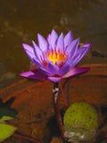 Symbole pourpré bleu de floraison de lotus? pour des traditions mystiques orientales   Image libre de droits