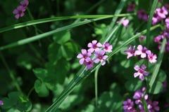 Symbolet av vitaliteten - växt av släktet Trifolium Arkivbilder