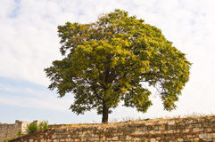 Symbolic big tree inside a Kalemegdan fortress in Belgrade Royalty Free Stock Photo