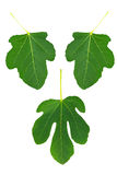 Symbolic fig leaves - set of three Royalty Free Stock Images