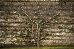 Symbolic Tree. Fruit tree, growing against a traditional brick wall, in a walled garden Royalty Free Stock Photography
