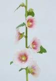 Symbolic ukrainian flower Malva. Symbol of love to neighborhood Stock Images