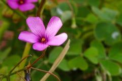 Symbolische bloemen van klaverroze stock foto