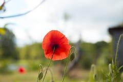 Symbool één van de geheugen rood papaver ronde bloem in het centrum stock fotografie