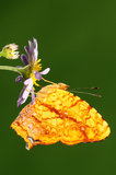 Symbrenthia liaea/fjäril/manlig Royaltyfria Foton