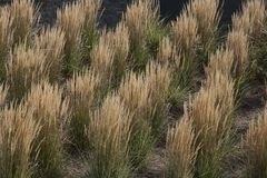 Symetric bushes of pennisetum. Diagonal Royalty Free Stock Image