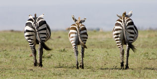 Symetrical Zebra in Kenya. 3 zebra in perfect symetry in Kenya's Maasai Mara Royalty Free Stock Photography