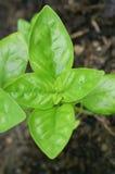 Symetryczny basilu liść zdjęcie stock