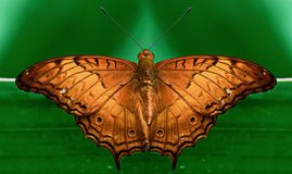 Symetryczny brown motyl Fotografia Royalty Free