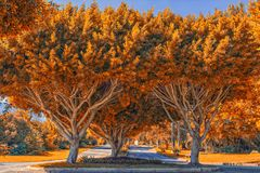 Symmetric trees with golden leaves. Fall landscape Royalty Free Stock Images
