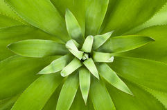 Symmetrical  agave Royalty Free Stock Photo