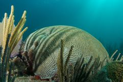 Free Symmetrical Brain Coral-Diplora Strigosa Stock Image - 15188951