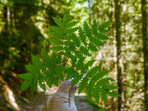 Symmetrical branch with leaves in a Swiss forest - 2 Royalty Free Stock Image