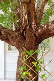 Symmetrical Branched Damas Tree Royalty Free Stock Photo